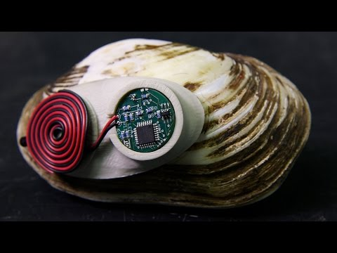 Freshwater mussels wearing backpacks? on YouTube