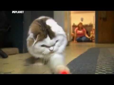 Британская короткошерстная кошка: описание, фото, стандарт