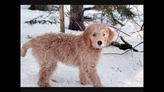Все породы собак.Голдендудль (Goldendoodle)