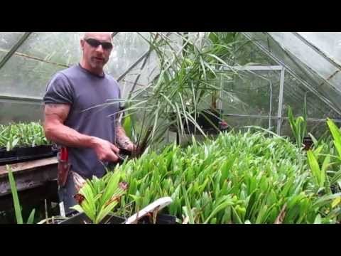 Jubaea chilensis Palm ... Chilean Wine Palm