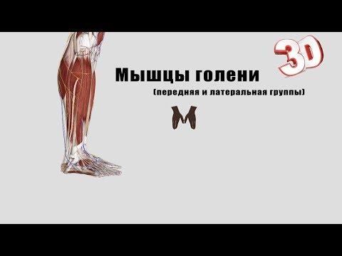 Как называется мышца разгибатель