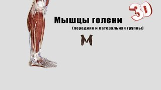 видео Мышцы голени | Миология | Анатомия человека