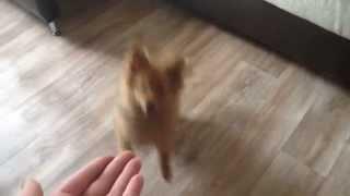 Моя собачка немецкий шпиц 5 месяцев