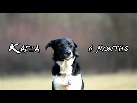 Kaiza    6 months    tricks and obedience    border collie