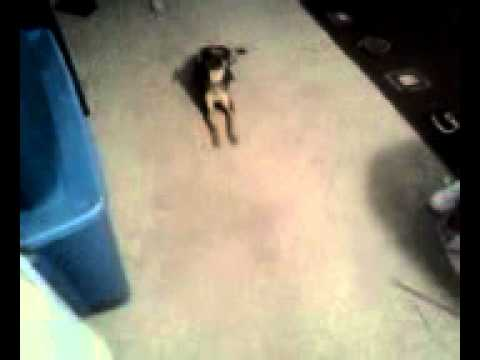 my dog nacho scratching his penis on my carpet - YouTube
