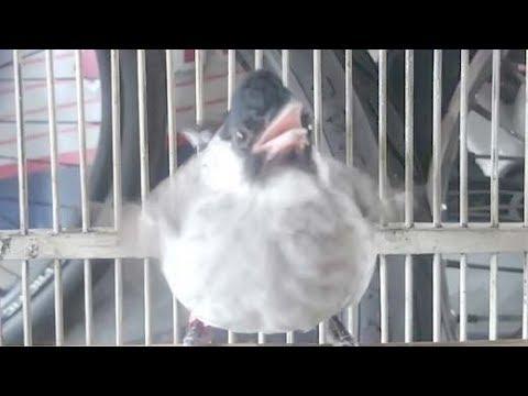 Burung Kutilang Gacor Full Isian Buat Master