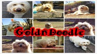 GoldenDoodle Aruto ゴールデンドゥードル あると♪ 犬種 ゴールデンドゥ...