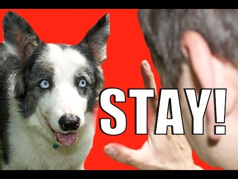 How to Train Your Dog to NOT RUN AWAY!  How to Teach your Dog to STAY while DISTRACTED