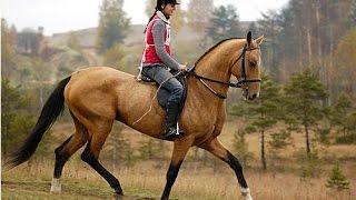 Лошади Ахалтекинской породы.