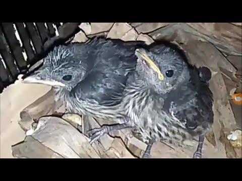 Unboxing Anakan Burung Cucak Keling