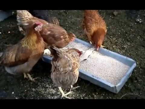 kury i jajka najlepsze na świecie