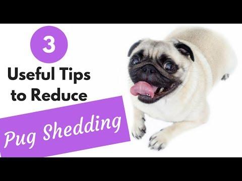 How To Reduce Pug Shedding Youtube