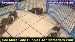 Havanese, Puppies, For, Sale In Toronto, Canada, Cities, Montreal, Vancouver, Calgary