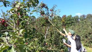 Apple picking at Sun High Orchards