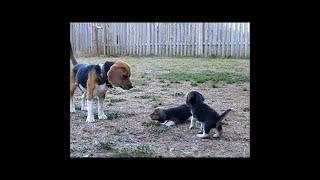 彼のビーグルパパに初めて吠えるかわいい子犬。ビーグルの人生で面白い...