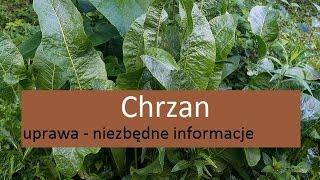 Chrzan - uprawa