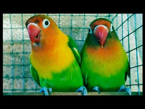 Love Birds Singing Sound Loud Effects Youtube