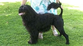 Dog Breed Video: Portuguese Water Dog