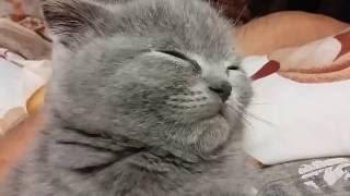 Котенок засыпает сидя / Kitten falls asleep sitting