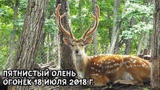 ПЯТНИСТЫЙ ОЛЕНЬ ОГОНЁК 18 ИЮЛЯ 2018 Г.