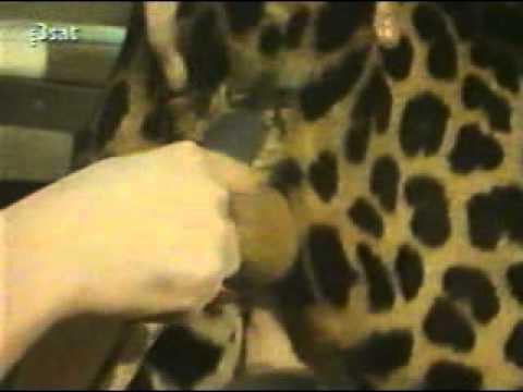 Leopard Artificial Insemination.wmv