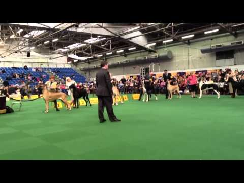 Best of breed westminster dog show 2014 great dane