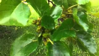 This will Amaze you Why you should grow a Mulberry Tree
