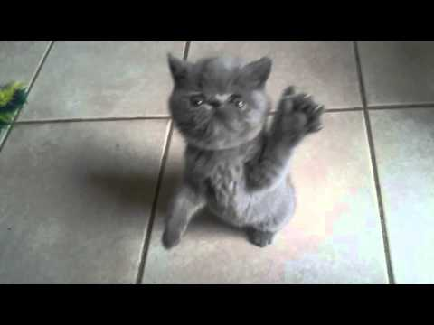 "Exotic Shorthair kitten at 7 wks ""Leia"""
