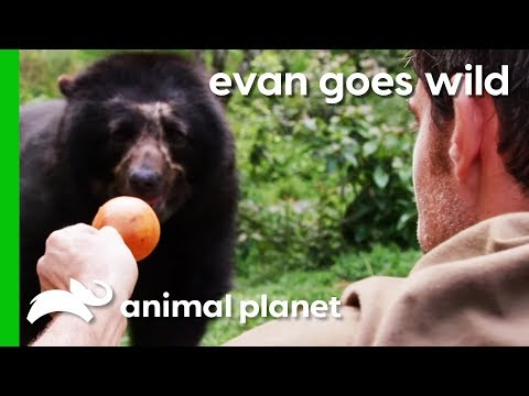Hand-Feeding A Semi-Wild Spectacled Bear In Peru | Evan Goes Wild