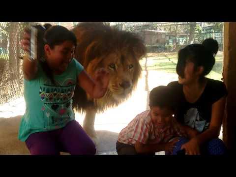 cuando el león te ayuda con la broma!!!