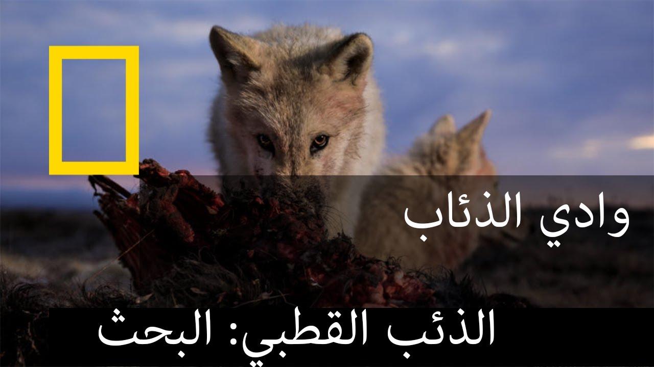 مملكة الذئب القطبي: البحث  | ناشونال جيوغرافيك أبوظبي