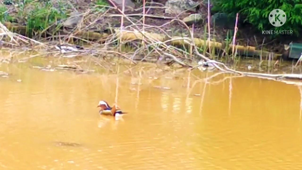 Mandarin duck##🦆🦆🦆เป็ดแมนดารินลอยหาคู่