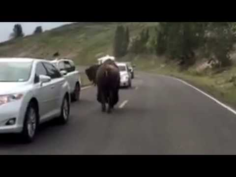 Bison Fight in Yellowstone