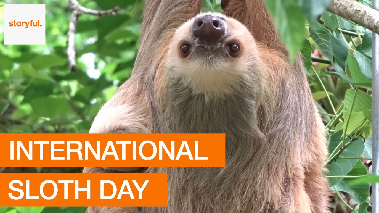 Happy International Sloth Day From Storyful - YouTube