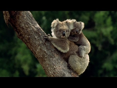 Baby Koala eats mother's poo - Animal Super Parents: Episode 1 Preview - BBC One