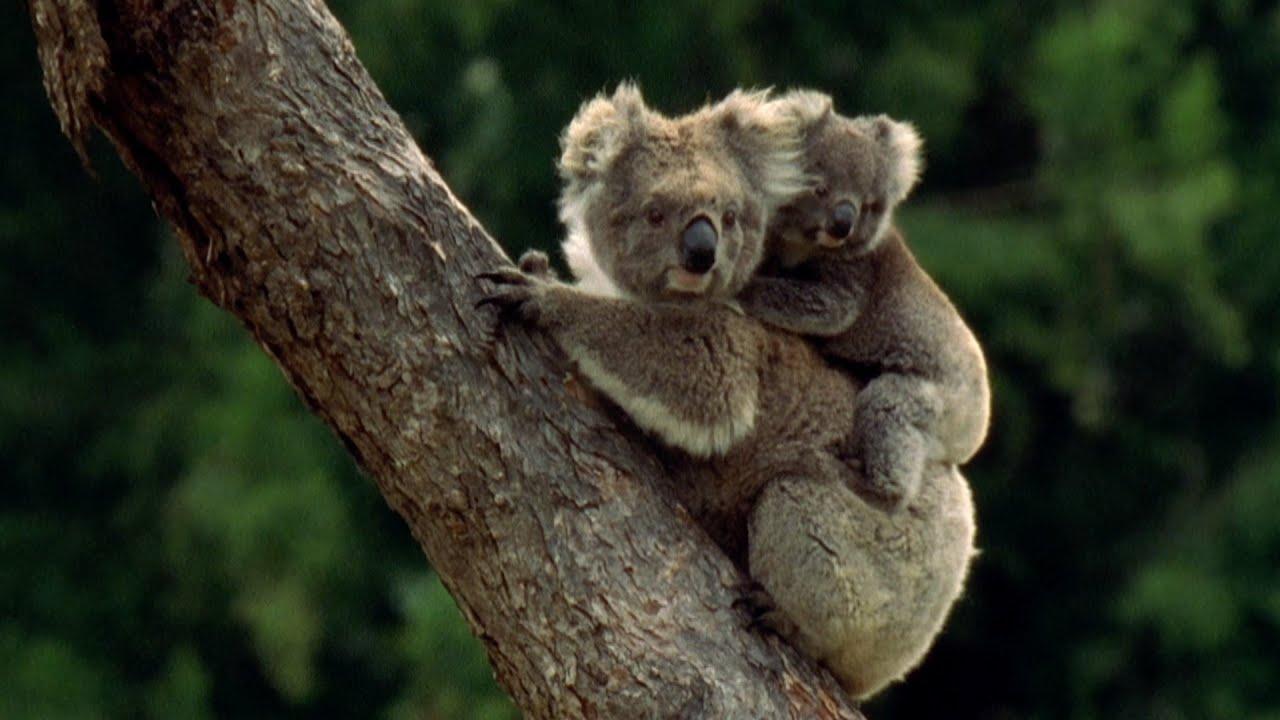 Cute Baby And Baba Wallpaper Baby Koala Eats Mother S Poo Animal Super Parents