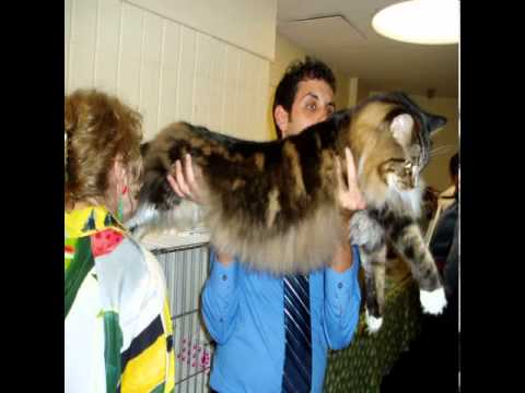 large maine coon cats for sale