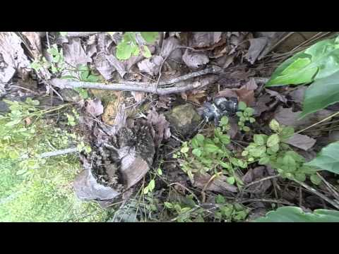 Kingsnake attacking a water snake @ Dowdell Loop Pine Mountain June 25th 2015