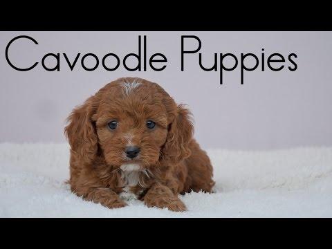 Cavoodle Puppies Dec 2015