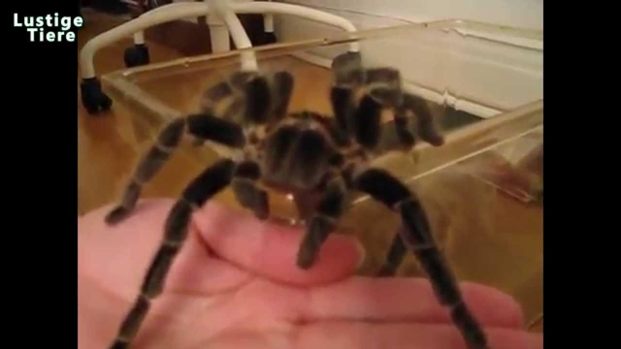 Skorpion Als Haustier