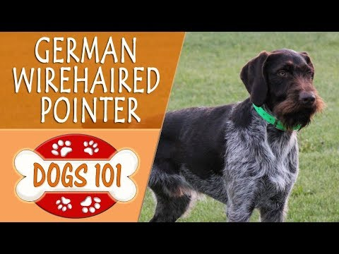 Dogs 101 - GERMAN WIREHAIRED POINTER - Top Dog Facts About the GERMAN WIREHAIRED POINTER
