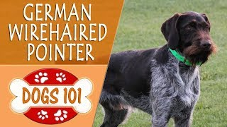 Dogs 101  GERMAN WIREHAIRED POINTER  Top Dog Facts About the GERMAN WIREHAIRED POINTER