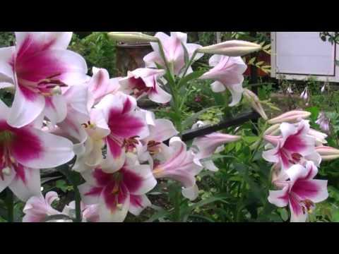Вопрос: Какие сорта лилий-мартогонов посадить в Подмосковье?