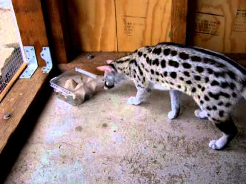 Large Rusty Spotted Genet trying to figure out how to open a container to get to Crickets