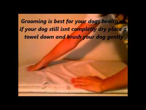 How to care for your chihuahua