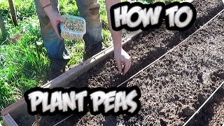 How To Plant Peas From Seed  || Organic || Toni's Organic Vegetable Garden