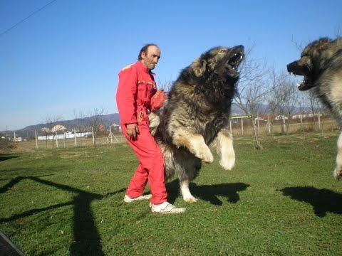 Purger AS- Caucasian Shepherd Dog. 91 cm - 102 kg