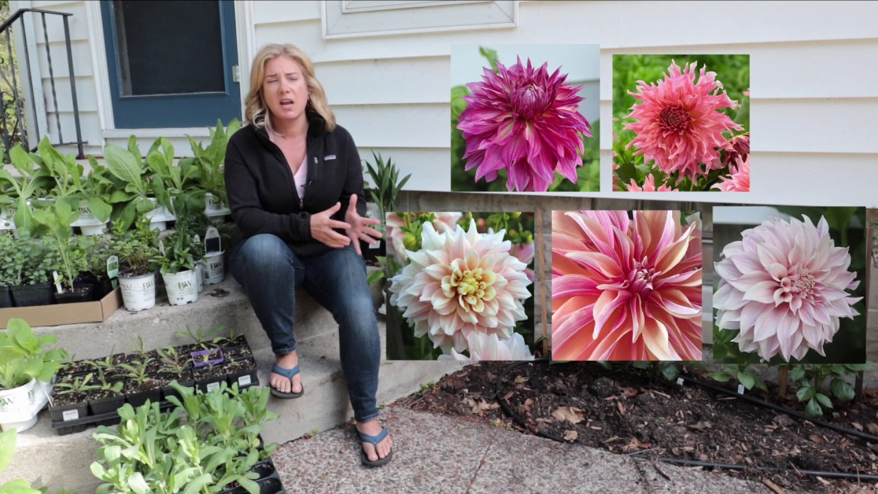 Planting Dinnerplate Dahlias About Me The Impatient Gardener