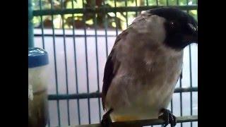 Kicauan burung kutilang yang diada saing