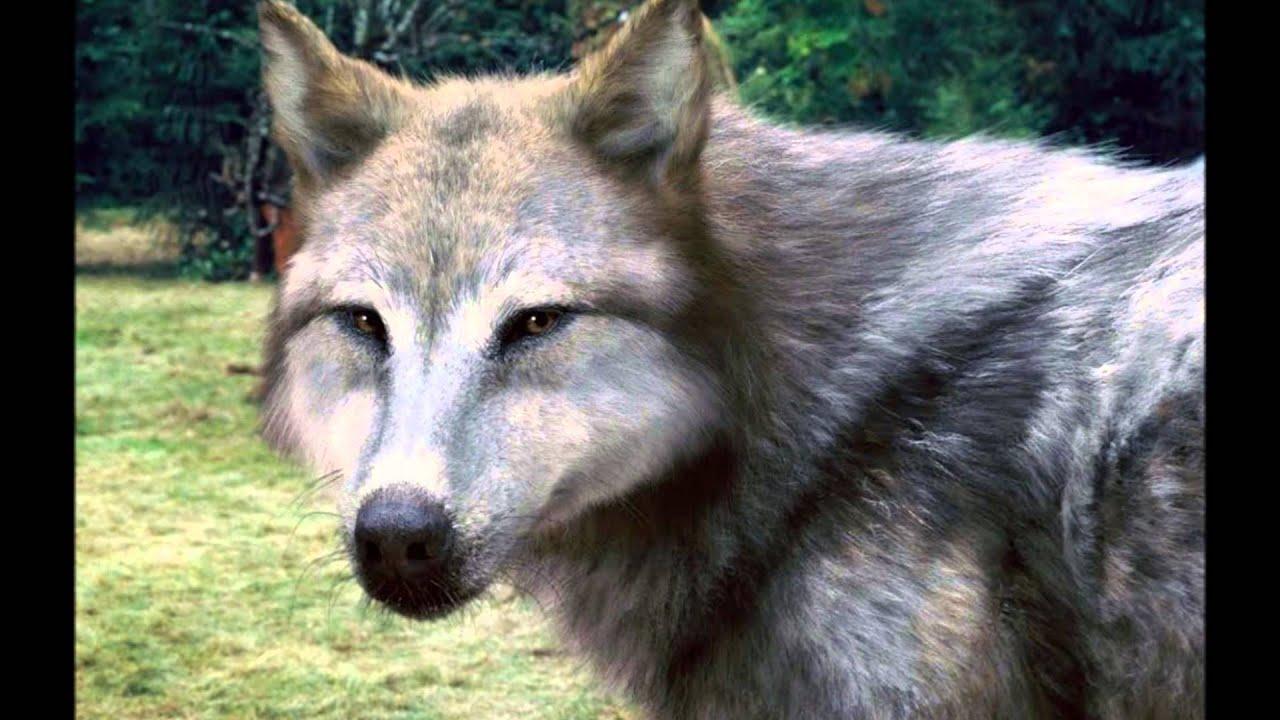 Werewolf Twilight Pack Twilight Werewolves | ...